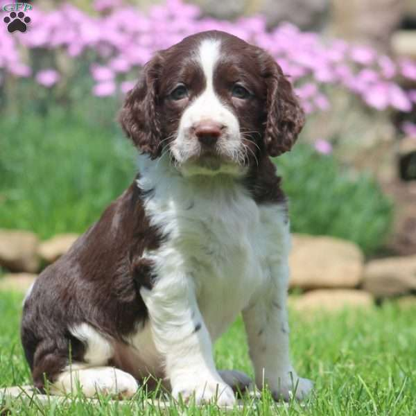 Shana, English Springer Spaniel Puppy