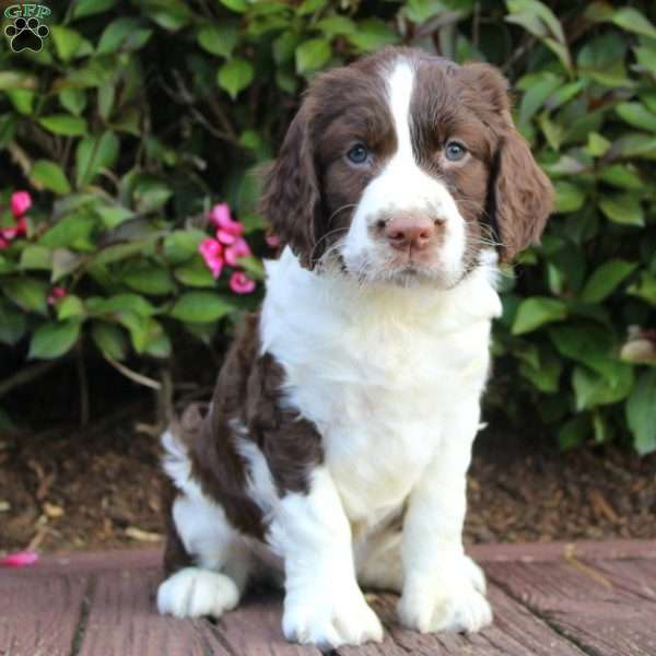 Snacks, English Springer Spaniel Puppy