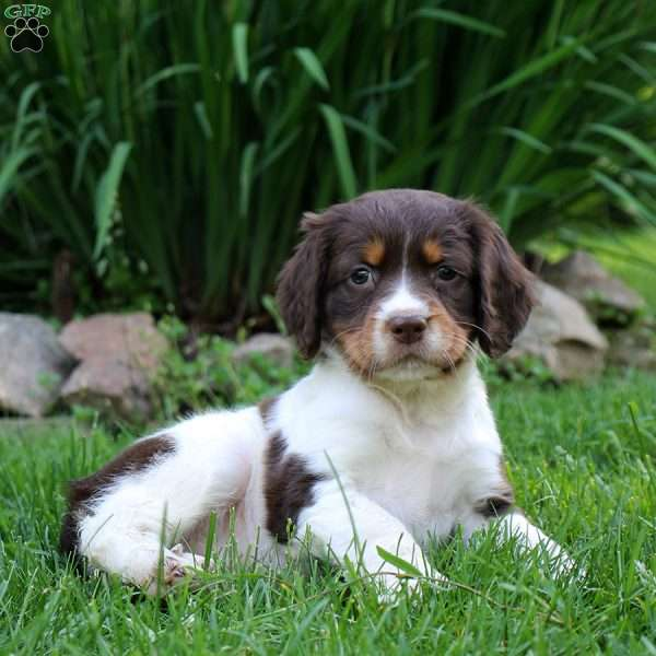Snickers, English Springer Spaniel Puppy