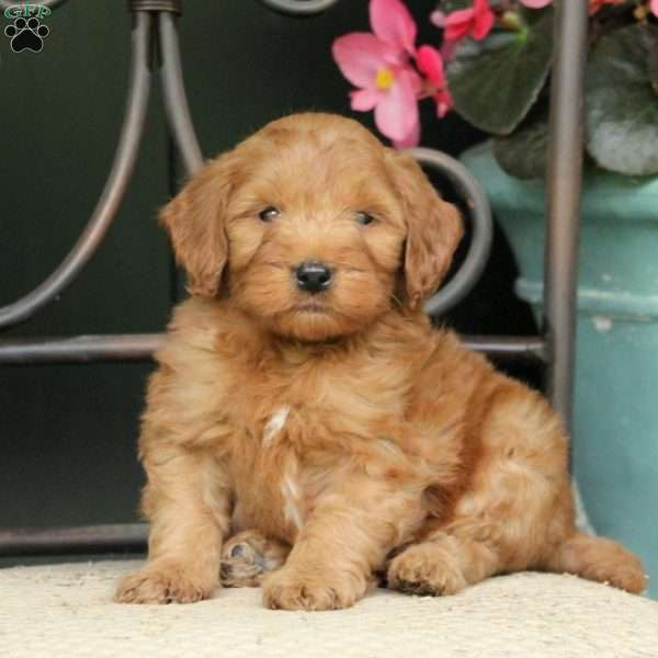 Snickers - F2B - Mini Goldendoodle Puppy For Sale in