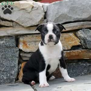 Sophie, Boston Terrier Puppy