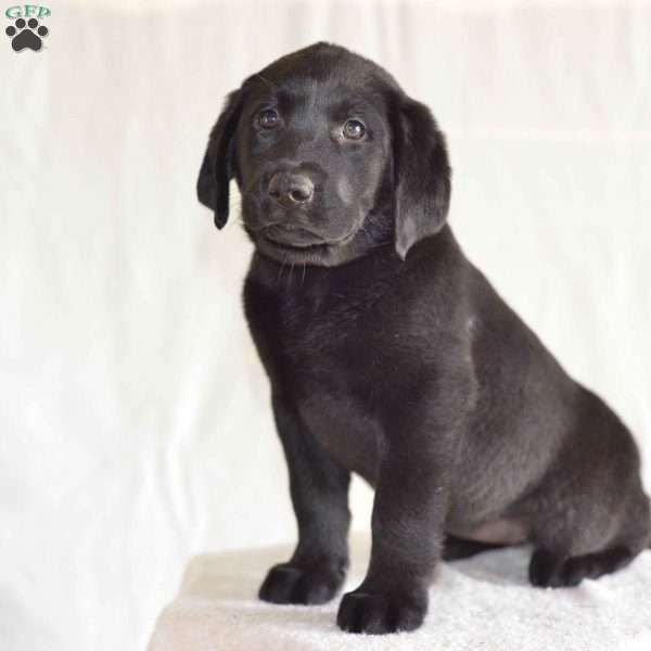 Sophie, Black Labrador Retriever Puppy