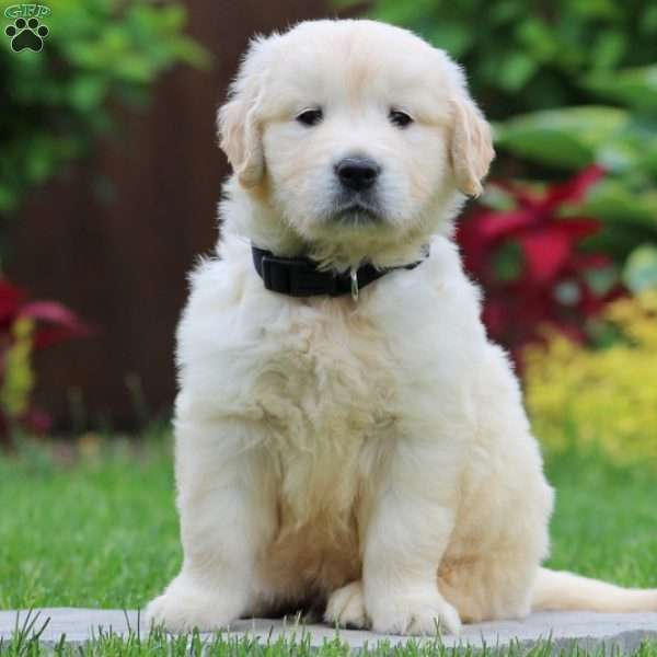 Thomas, English Cream Golden Retriever Puppy