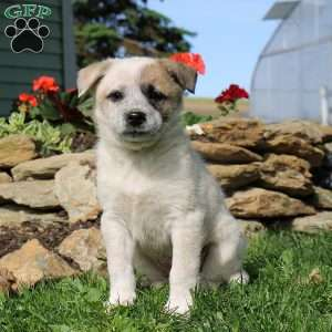 Puppies for Sale Under $500 - Price Under $500 | Greenfield