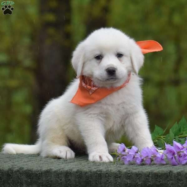 Weatherly, Great Pyrenees Puppy