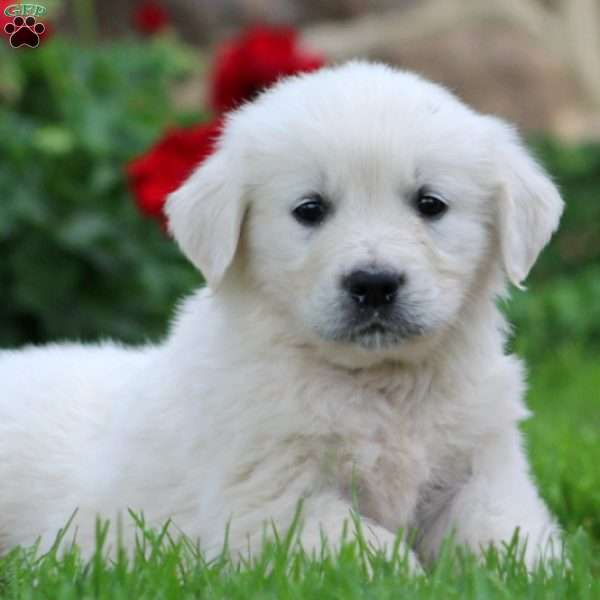 Winston, English Cream Golden Retriever Puppy