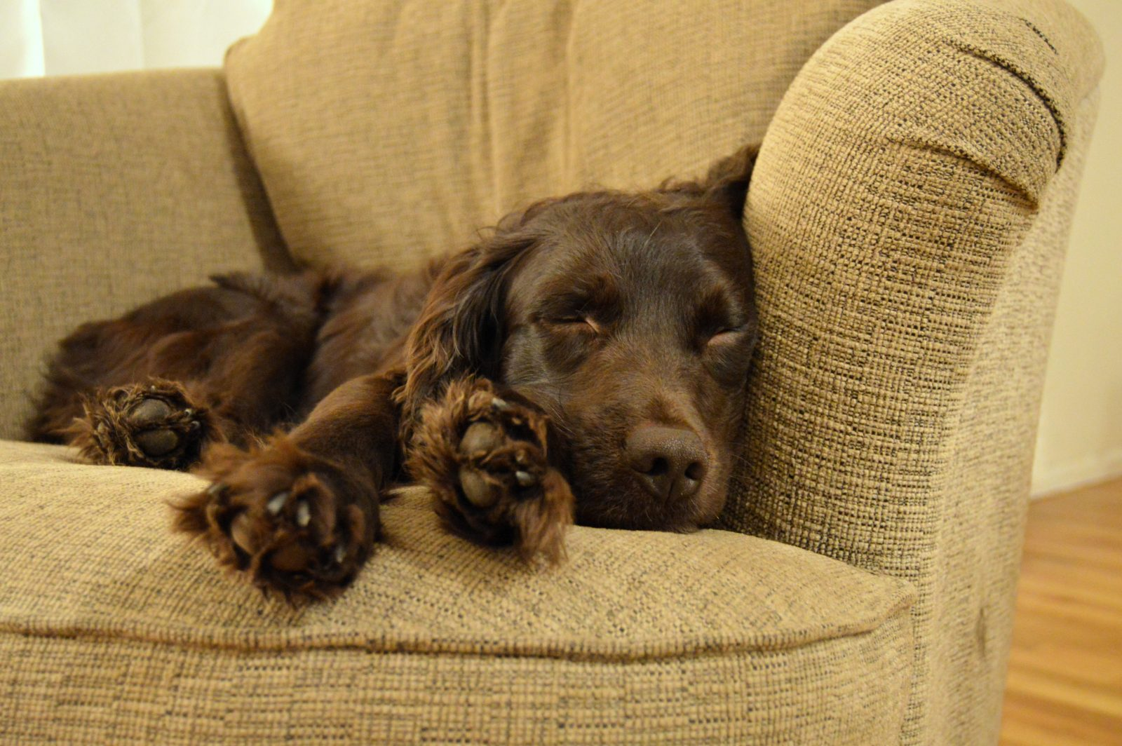 4 things to know about boykin spaniel puppies greenfield