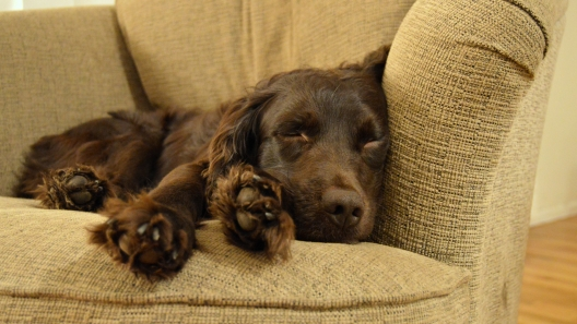 4 Things to Know About Boykin Spaniel Puppies