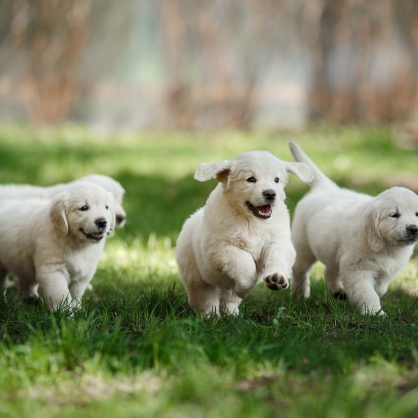golden retriver puppies running on grass