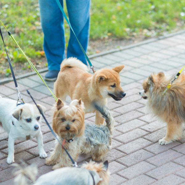 group of leashed dogs meeting while on a walk