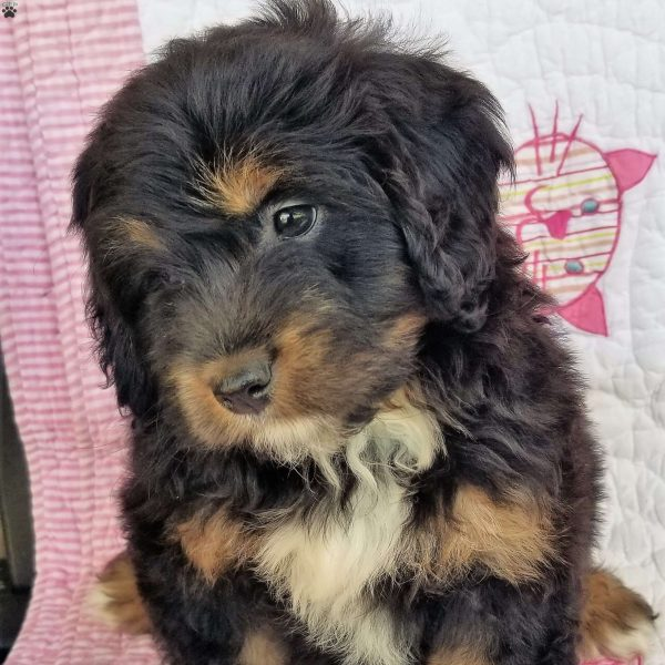 Maybelle, Mini Bernedoodle Puppy