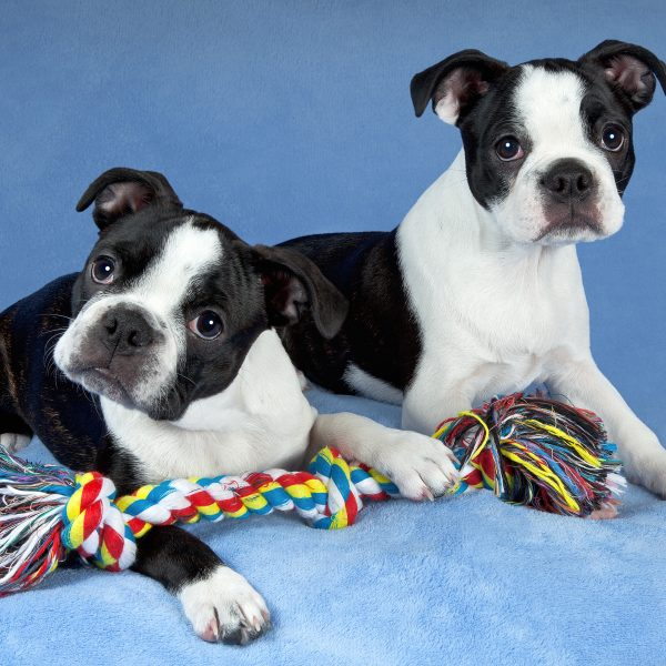 two boston terrier puppies with a rope dog toy