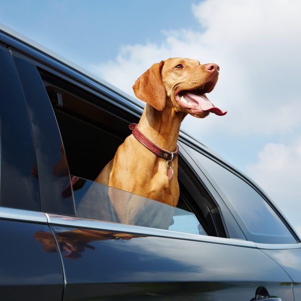vizsla dog looking out of a car window