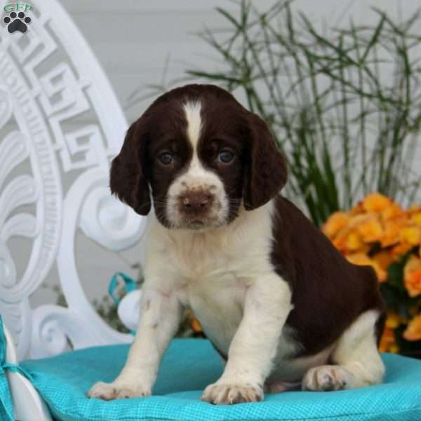 Asher, English Springer Spaniel Puppy