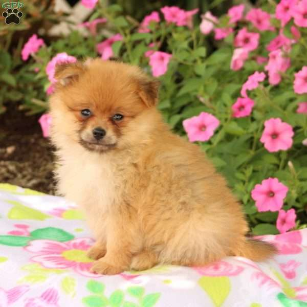 Asher - Pomeranian Puppy For Sale in Pennsylvania
