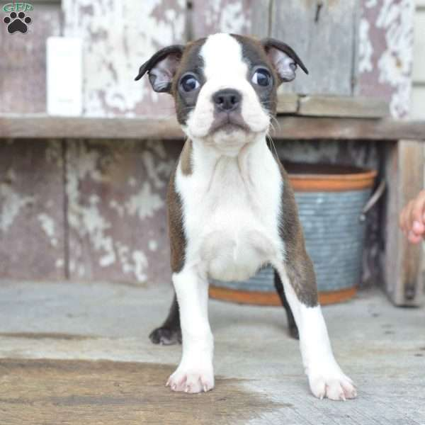 Austin, Boston Terrier Puppy