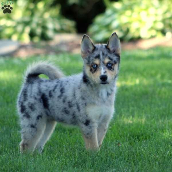 Buttons - Pomsky Puppy For Sale in Pennsylvania
