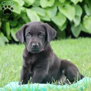 Cappuccino, Black Labrador Retriever Puppy