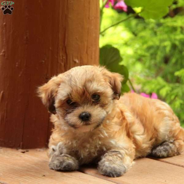 Caramel Maltese Mix Puppy For In