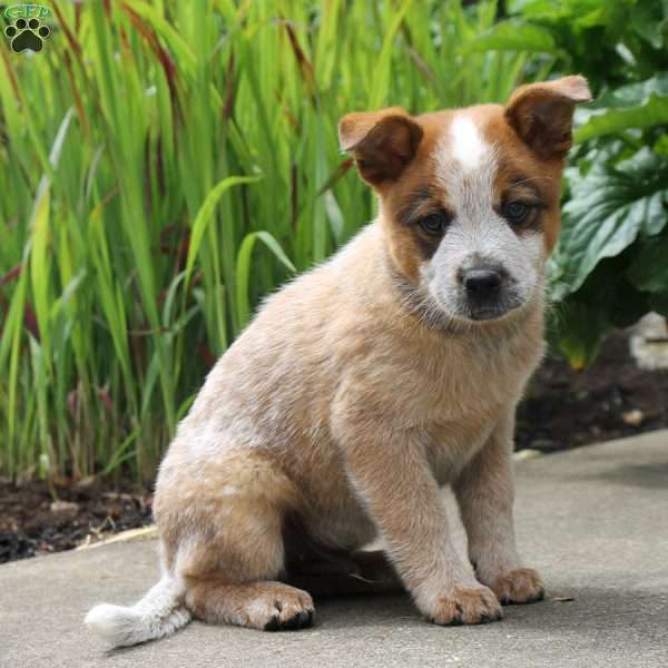 Cody, Blue Heeler – Australian Cattle Dog Puppy