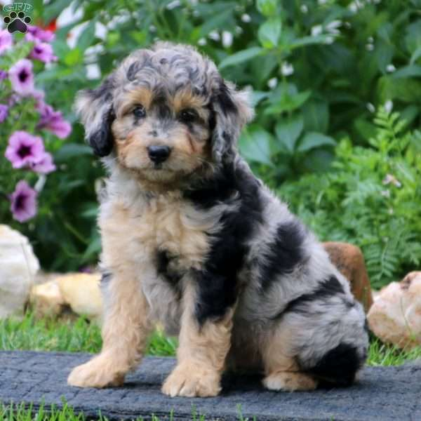 Colby, Miniature Aussiedoodle Puppy