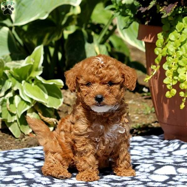 Corabelle - Yorkie-Poo Puppy For Sale in Pennsylvania