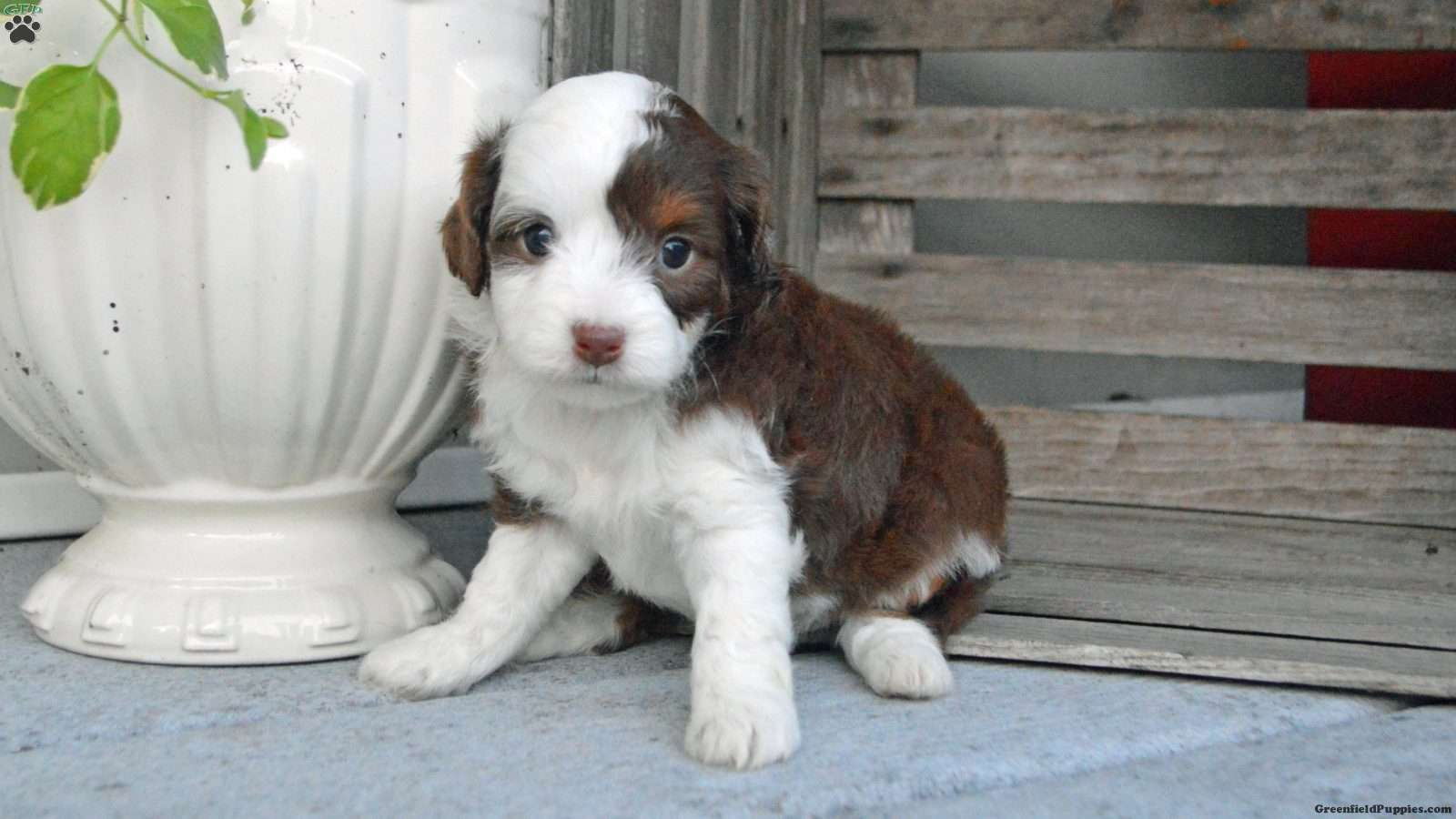 Daisy - Miniature Aussiedoodle Puppy For Sale in Illinois