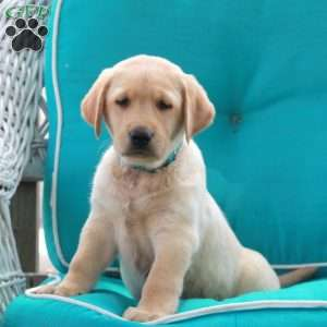 Danny, Yellow Labrador Retriever Puppy