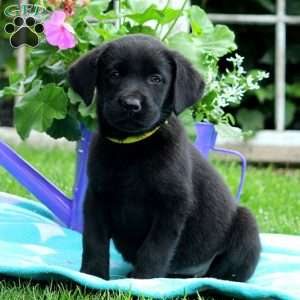 Drema, Black Labrador Retriever Puppy