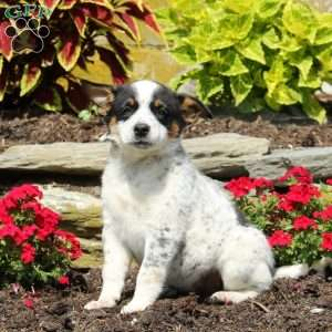 Fancy, Blue Heeler – Australian Cattle Dog Puppy