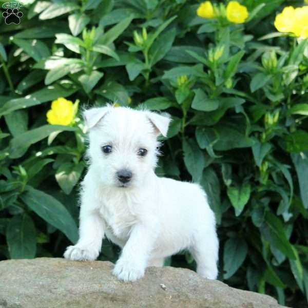 Fiona - West Highland Terrier Puppy For Sale in Pennsylvania