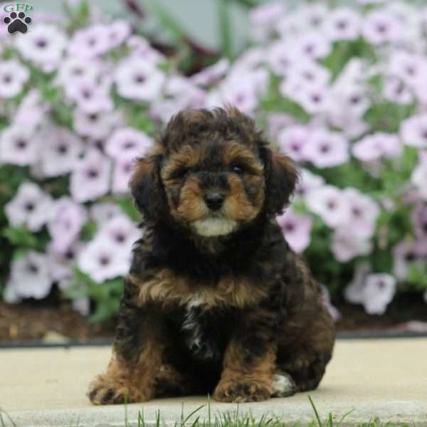 Grover - Havapoo Puppy For Sale in Pennsylvania