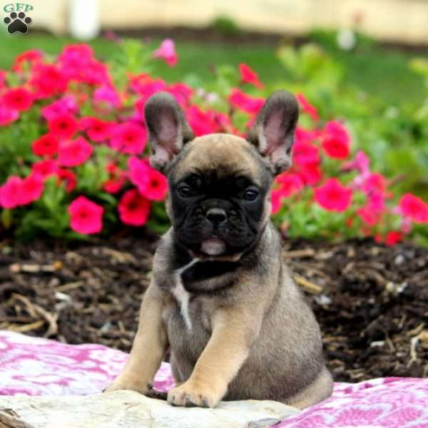 Happy, French Bulldog Puppy