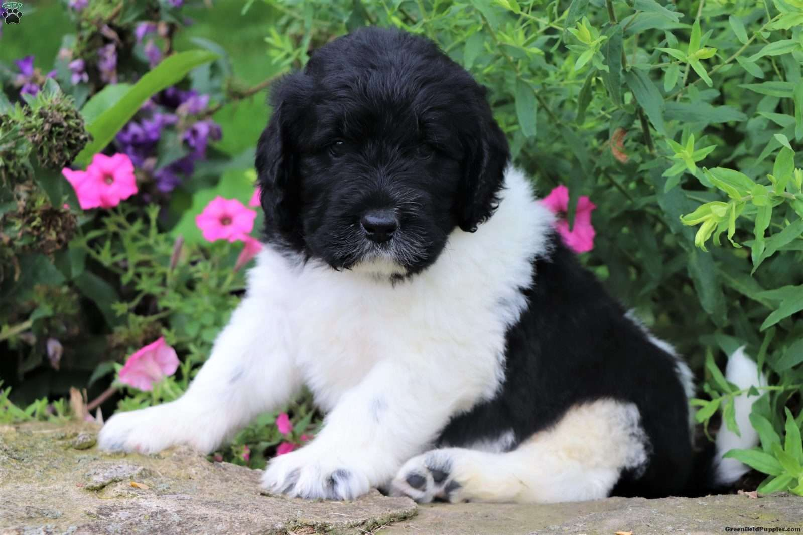 Harley Newfypoo Puppy For Sale In Ohio