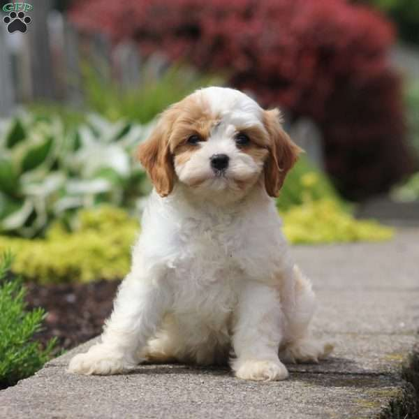 Jacey - Cavachon Puppy For Sale in Pennsylvania