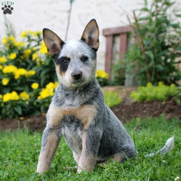 Judy, Blue Heeler – Australian Cattle Dog Puppy
