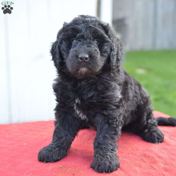 Macy Newfypoo Puppy For Sale In Ohio