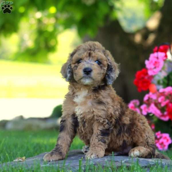 Major - Mini Goldendoodle Puppy For Sale in Pennsylvania