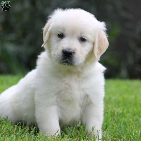 Marco, English Cream Golden Retriever Puppy