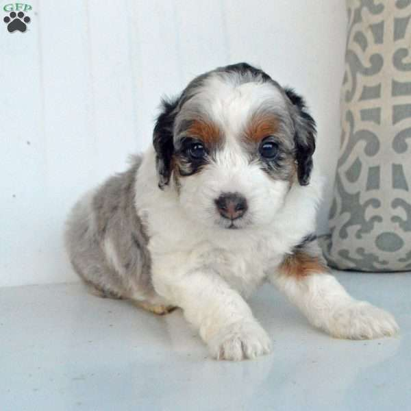 Max Miniature Aussiedoodle Puppy For Sale In Illinois