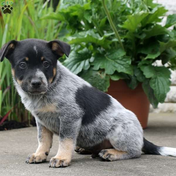 Maxwell, Blue Heeler – Australian Cattle Dog Puppy
