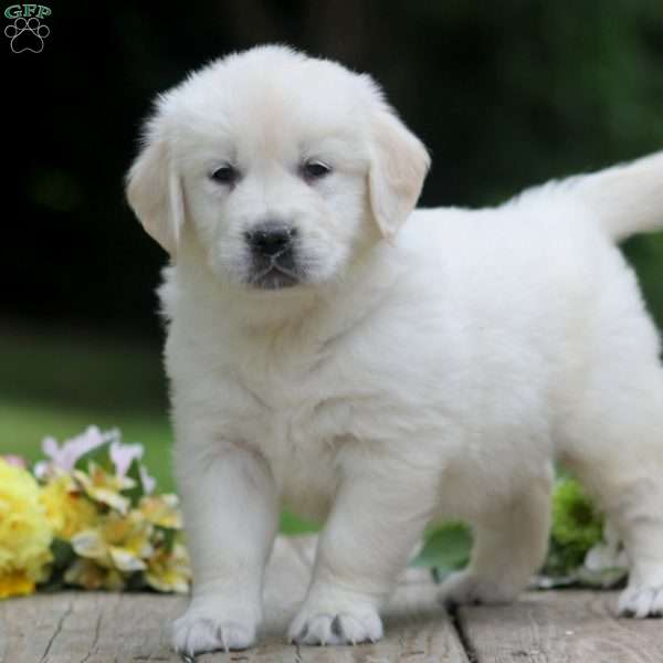 Misty, English Cream Golden Retriever Puppy