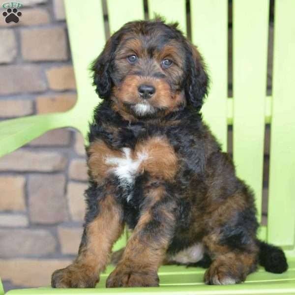 Mittens - Bernedoodle Puppy For Sale in Ohio
