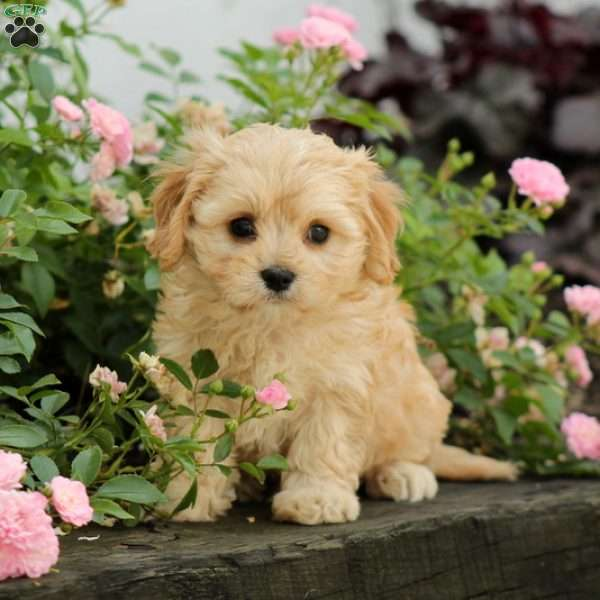 Nelly, Cavachon Puppy