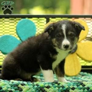 Oak, Border Collie Mix Puppy