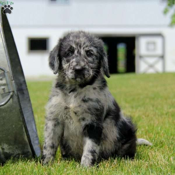 Reeses, Labradoodle Puppy