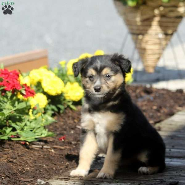 Rosie, Miniature Australian Shepherd Mix Puppy