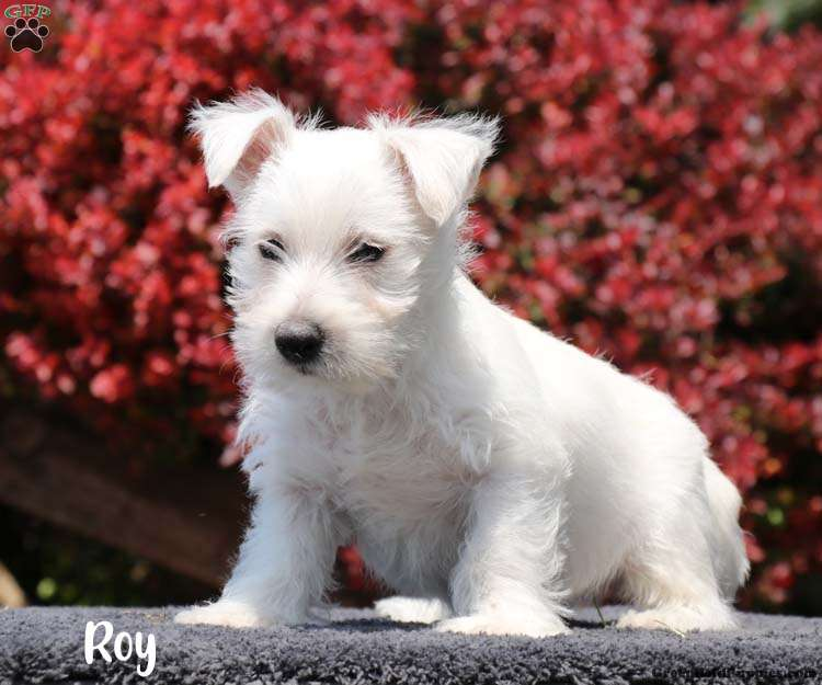 Roy - West Highland Terrier Puppy For Sale in Pennsylvania