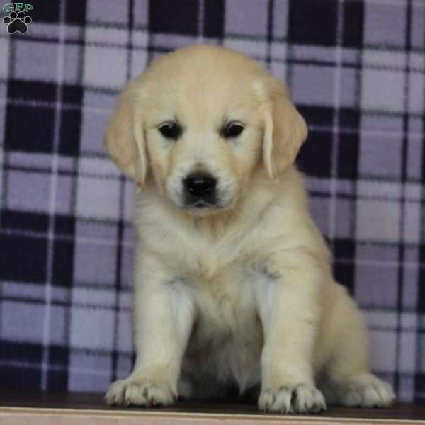 Ruby, English Cream Golden Retriever Puppy