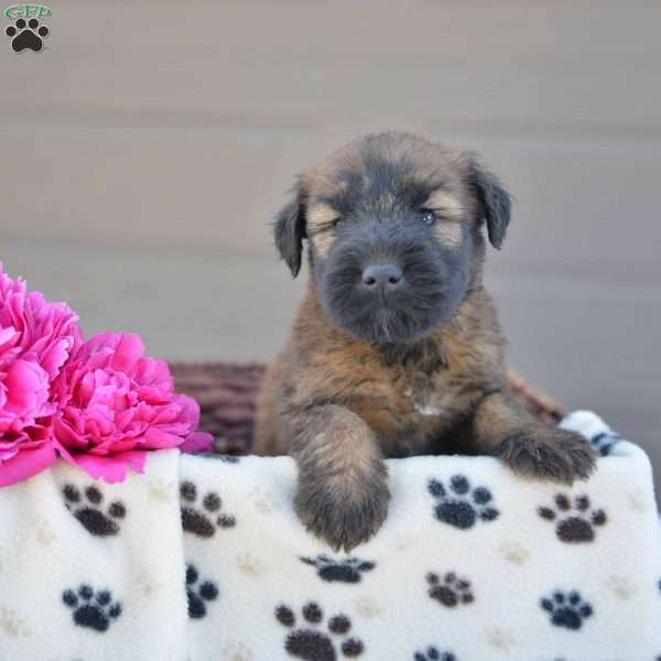 Ryder Soft Coated Wheaten Terrier Puppy For In Ohio